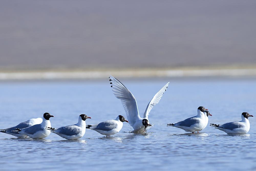 Relict Gull - Ichthyaetus relictus Tum-Eco tour Tumen birdwatching bird watching mongolia