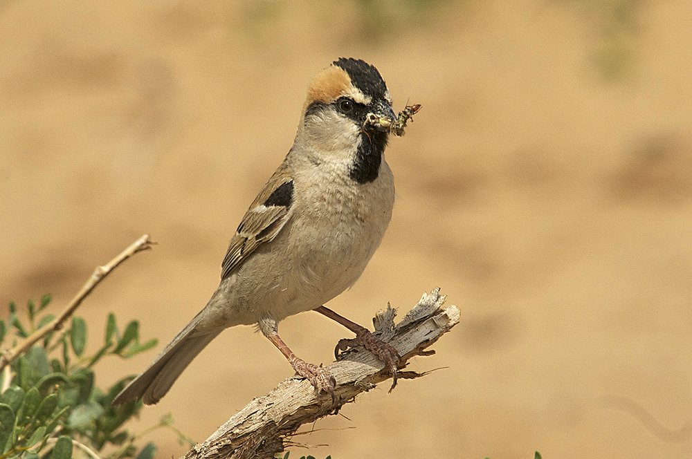 Saxaul Sparrow - Passer ammodendri Tum-Eco tour Tumen birdwatching bird watching mongolia