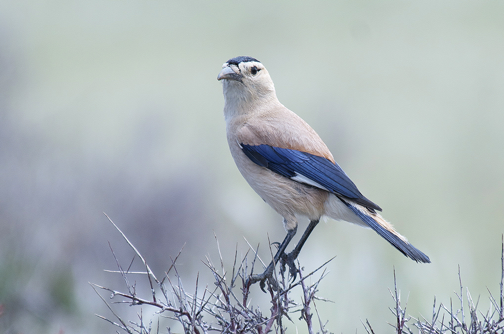 Mongolian Ground-jay - Podoces hendersoni Tum-Eco tour Tumen birdwatching bird watching mongolia