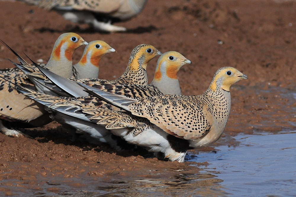 Pallas's Sandgrouse - Syrrhaptes paradoxus Tum-Eco tour Tumen birdwatching bird watching mongolia