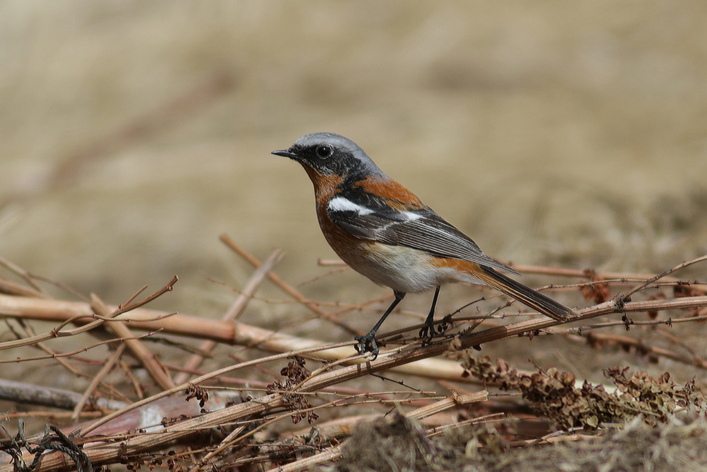 Rufous-backed Redstart - Phoenicurus erythronotus Tum-Eco tour Tumen birdwatching bird watching mongolia
