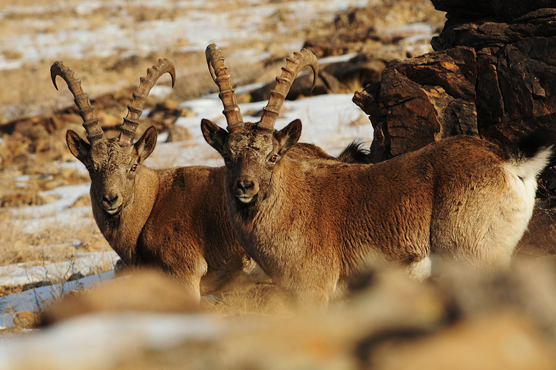 Siberian Ibex - Capra sibirica Tum-Eco tour Tumen mammalwatching mammal watching mongolia wildlife