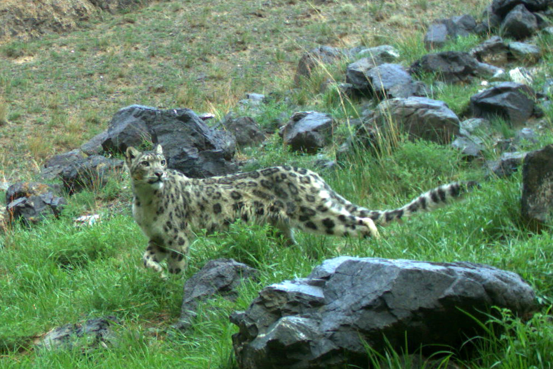 Snow Leopard - Uncia uncia (Camera trap photo) Tum-Eco tour Tumen mammalwatching mammal watching mongolia wildlife