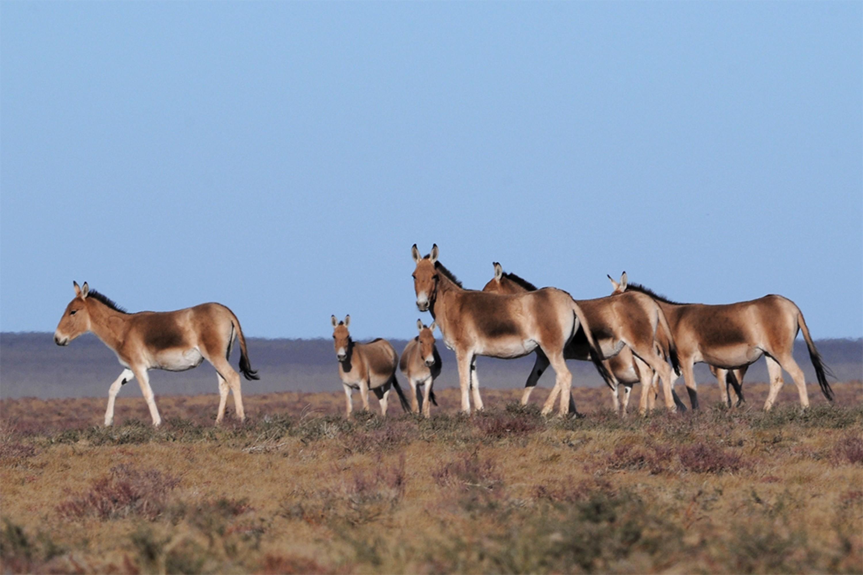 Asiatic Wild Ass - Equus hemionus Tum-Eco tour Tumen mammalwatching mammal watching mongolia wildlife