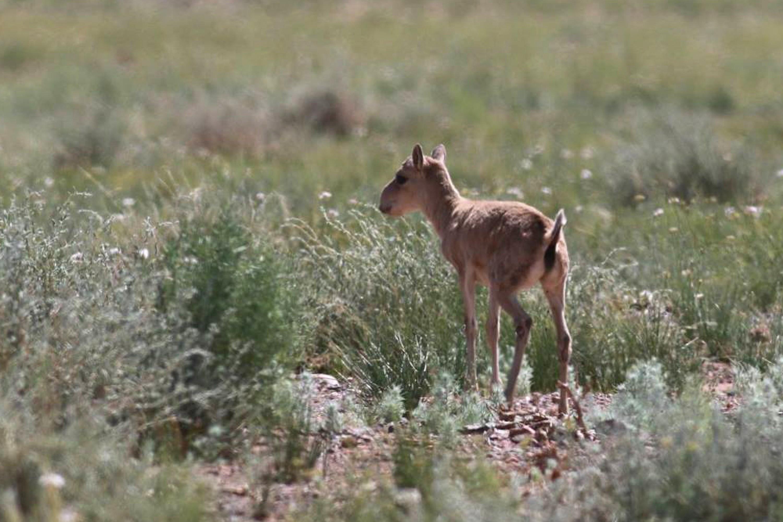Saiga Antelope - Saiga tatarica Tum-Eco tour Tumen mammalwatching mammal watching mongolia wildlife