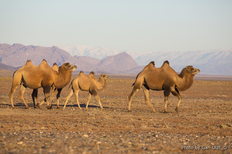 Wild Camel - Camelus bactrianus ferus Tum-Eco tour Tumen mammalwatching mammal watching mongolia wildlife