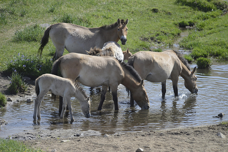 Przewalski's Horse - Equus ferus przewalskii Tum-Eco tour Tumen mammalwatching mammal watching mongolia wildlife