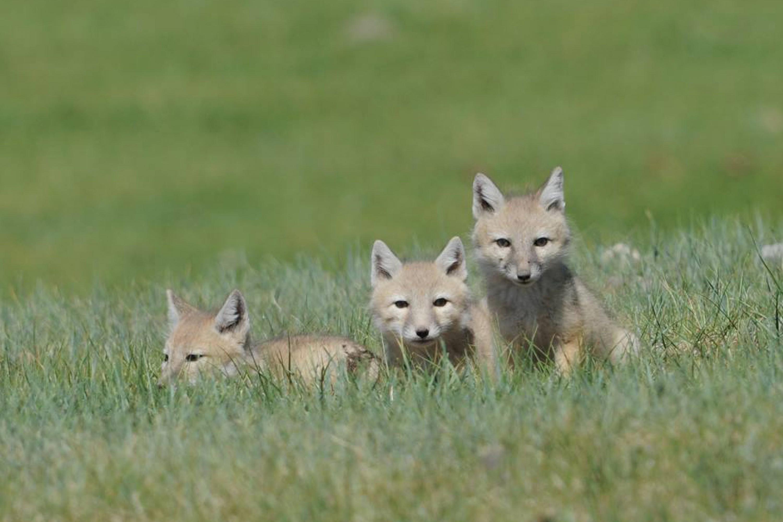 Corsac Fox - Vulpes corsac Tum-Eco tour Tumen mammalwatching mammal watching mongolia wildlife