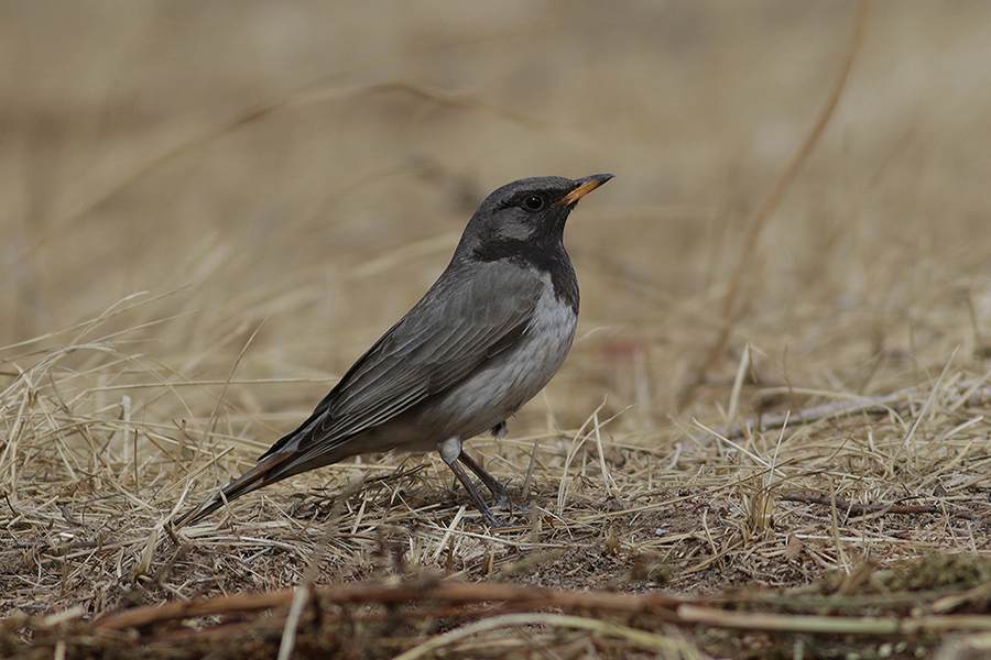 Black-throated Thrush - Turdus ruficollis atrogularis Tum-Eco tour Tumen birdwatching bird watching mongolia