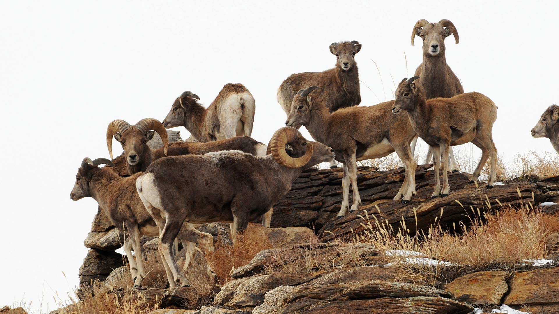 Argali - Wild Sheep - Ovis ammon tum-eco tour tumeco tum eco gobi mongolia mammal mammalwatching