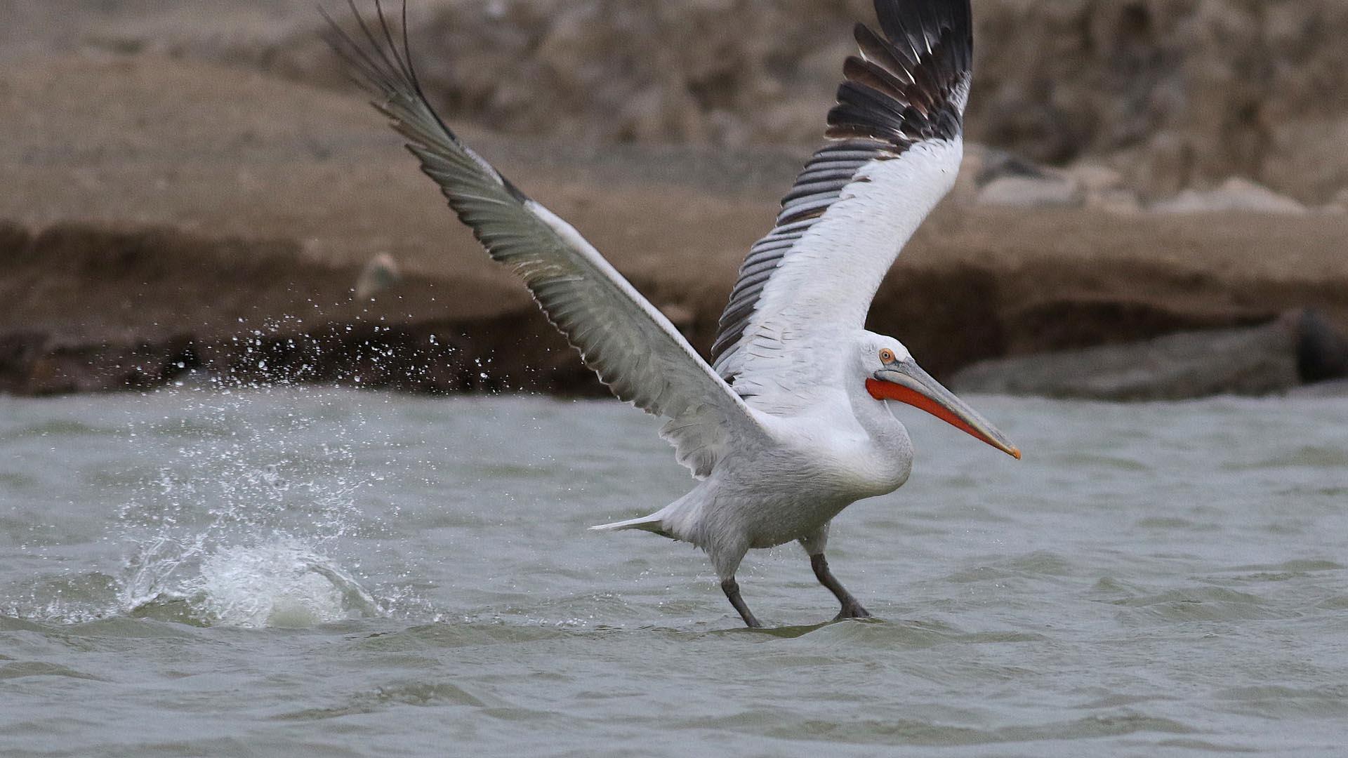 Dalmatian Pelican - Pelecanus crispus tum-eco tour tumeco tum eco gobi mongolia bird birdwatching