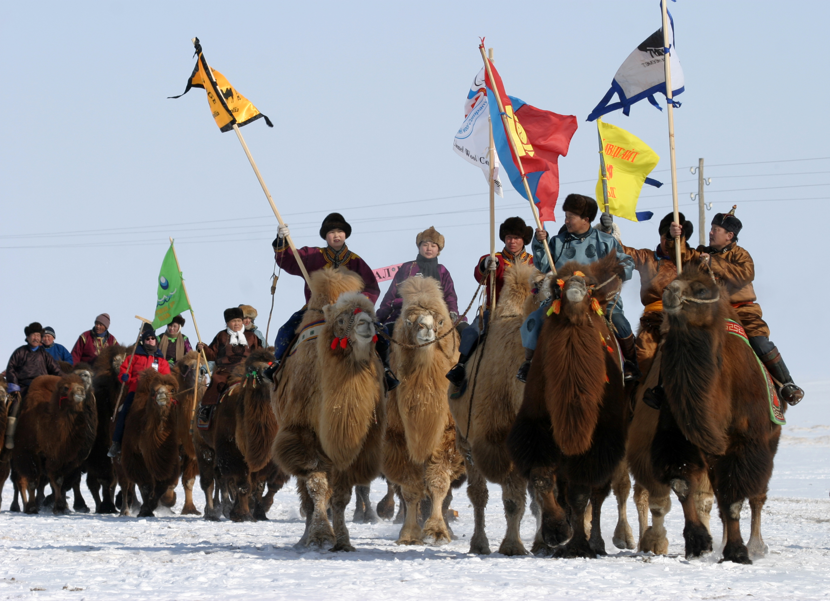 camel parade of camel festival in mongolian gobi