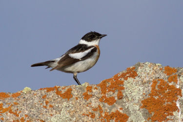 White-throated Bushchat - Saxicola insignis