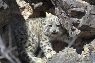 ユキヒョウ - Snow Leopard - Uncia uncia