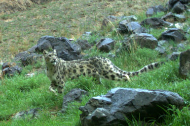 ユキヒョウ - Snow Leopard - Uncia uncia (Camera trap photo)