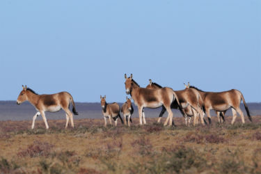 モウコノロバ(ホラン)- Asiatic Wild Ass - Equus hemionus