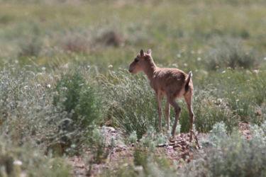 モンゴルサイガ(オオハナレイヨウ)- Saiga Antelope - Saiga tatarica