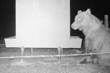 マザーライ (ゴビグマ)- Gobi Bear - Ursus arctos gobiensis