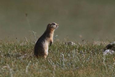 オナガホッキョクジリス - Long-tailed Ground Squirrel - Spermophilus undulatus