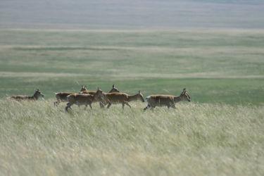 モウコガゼル - Mongolian Gazelle - Procapra gutturosa