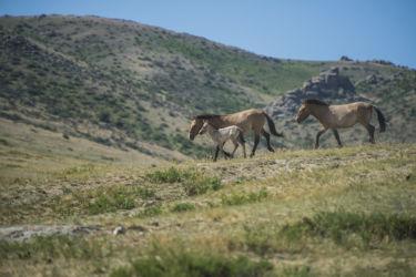 モウコノウマ(タヒ)- Przewalski's Horse - Equus ferus przewalskii