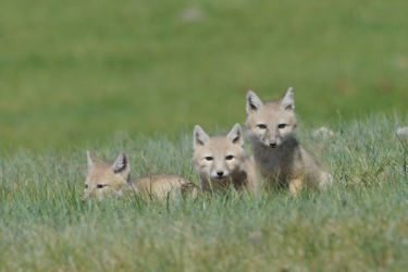 コサックギツネ - Corsac Fox - Vulpes corsac