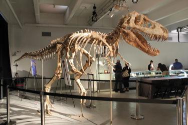 """Tarbosaurus """"Bataar"""""""